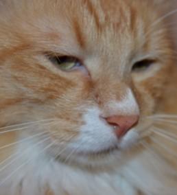 Милый котик, курильский бобтейл принимает ванну